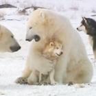 Dogs and Polar Bears