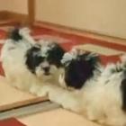 Puppy vs. Mirror