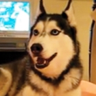 Husky Dog Talking