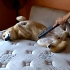Dogs being vacuumed