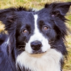 Your Border Collie's Dream Vacation