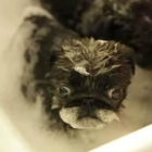 Pug Puppies in a Tub