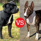 Staffordshire Bull Terrier and Bull Terrier