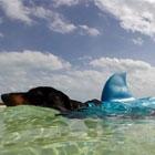 Weiner Shark