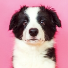 How Much of Your Dog's Behaviour Is Genetic?