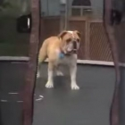 Dog on a trampoline