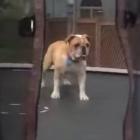 Dog on a trampoline