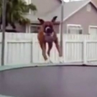 Dogs on Trampolines
