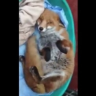 Fox wags tail