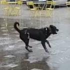 Water Fountain Dog