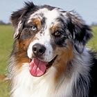 Australian Shepherd VS Australian Cattle Dog