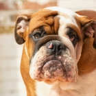 Dogs Surrendered as Misinformation Surrounding COVID-19 Swirls