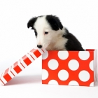 dog in a gift box looking for presents