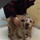 Blind Rescue Irish Terrier Duffy Regains Eyesight