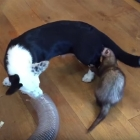 Corgi Pup Plays With Her Two Ferret Brothers