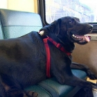 Eclipse the Labrador Takes the Bus on Her Own to Local Dog Park