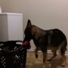 German Shepherd Lends a Helping Paw With the Laundry
