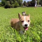 Video of the Day: Six Corgi Puppies Go To University