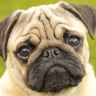 Could the Pug or the Papillon be the Breed for You?