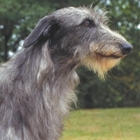 Scottish Deerhound VS Irish Deerhound