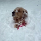 Golden Retriever Pops Out of Snow