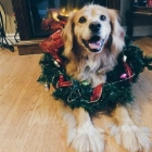 Dogs Getting in the Holiday Spirit