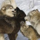 thumbnail_Gray_Wolves_.jpg