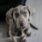can my dog get corona virus
