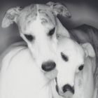Breed_Whippets_small.jpg