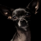 Chihuahua-teaser.jpg