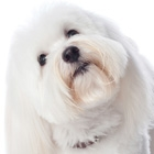The Coton de Tulear