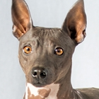 The American Hairless Terrier