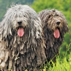 The Bergamasco