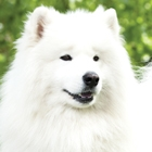The Samoyed