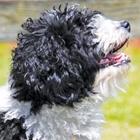 The Spanish Water Dog