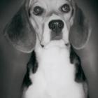 beagle-teaser.jpg