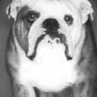 bulldog-teaser.jpg