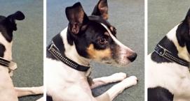 Rogue Royalty Dog Collar