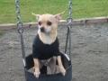 Amigo on swing.jpg
