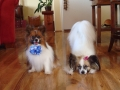 Dogs with bows 006.jpg